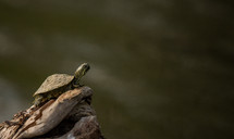 young turtle on a log