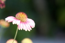 A pink and white flower.