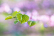 green leaves and blurry purple flowers on a spring tree