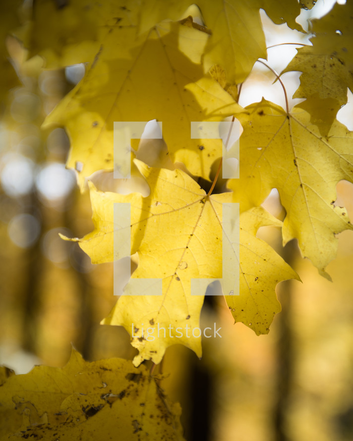 yellow fall leaves