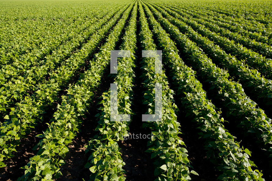 rows on beans in a field