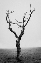 a dying tree in fog