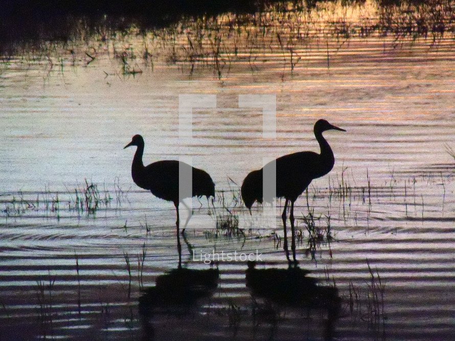 A pair of Sand Crane birds fishing at a lake during sunset in the wintertime in Florida. These birds are often seen in pairs of two to five together as a family unit. The verse in the bible that says 'two are better then one' come to mind as these birds stay together for fellowship and safety and do everything together. They are never alone but always in pairs or a group which says something about fellowship, friendship and a sense of belonging that all beings share a need for. Christ never wants us to go at life alone as a Christian but to have fellowship, friendship and a sense of community with other like minded believers. We are never meant to go through life alone.