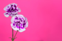 purple carnations against a pink background