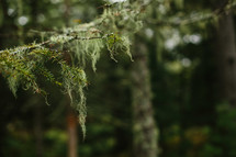 Spanish moss on a pine branch