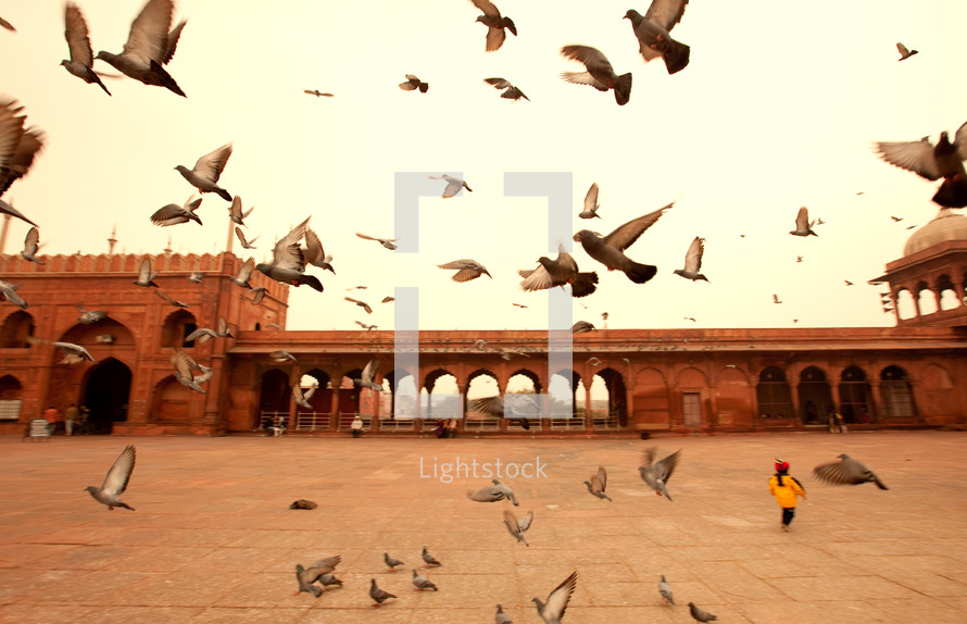 pigeons in India