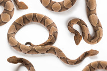 Copperhead Snake on a White Background