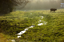 A black cow grazing in the early morning by a small stream in a misty green pasture.