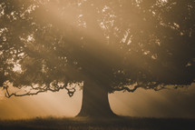 Orange sunbeams shine through the autumn leaves of a giant old oak tree in the foggy morning.