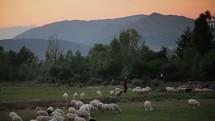 Man herding sheep across a meadow near mountains at dusk.