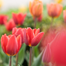 red tulips in sunlight