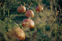 orange pumpkins in green grass