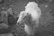 sheep in Yemen