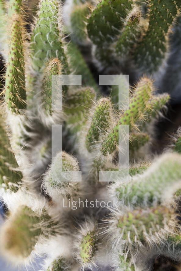 spiny cactus
