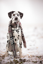 a dog in a scarf in the snow