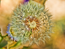 An up-close, macro photograph of the detail of a dandelion.