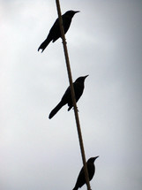 A trio of Birds sitting on a wire cable silhouetted against a cloudy gray sky.