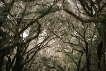 spanish moss on southern trees