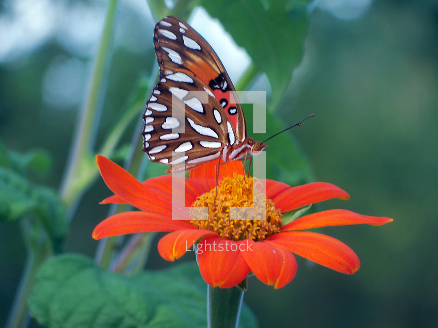A Monarch Butterfly landing on an orange and yellow flower in a tropical garden setting with green woods in the background.