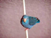 Bird on a wire - A blue Pacific Parrotlet hanging on a white wire looking for a safe place to land.