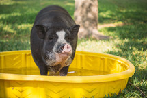 Pig in a plastic pool of water.