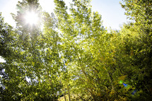 Bright alpine sunlight flares through a forest of Aspen in the Colorado Rocky Mountains in September - Sun flare and lens flare were caught in camera and are not a result of photo filters.