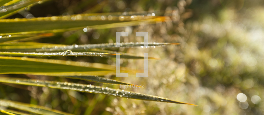 Sharp green leaves (palm fronds) covered with dew