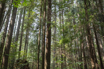 forest of cedars