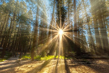 sunburst through trees in a forest