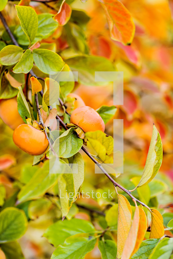 Fruit, persimmon, fall, orange, green, red,
