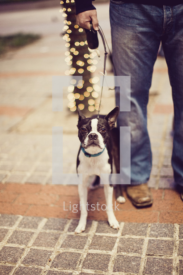 man with Boston terrier dog on a leash