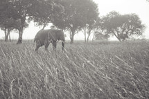 Elephant in open grass field