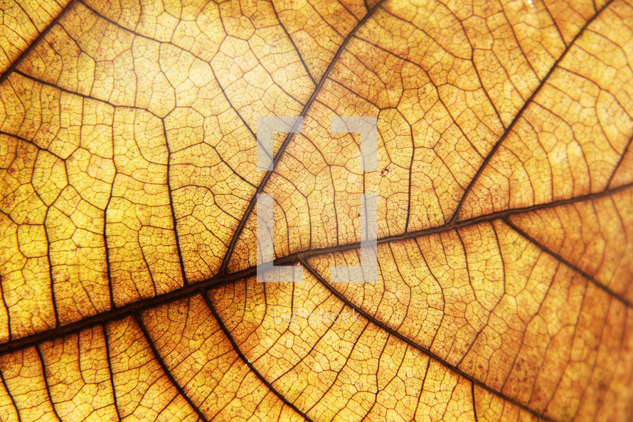 Veins pattern of an autumn leaf
