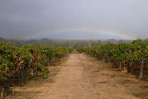 rainbow over a grape vineyard