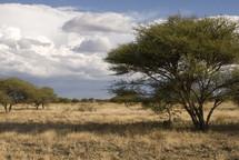 African thorn tree in savanna landscape