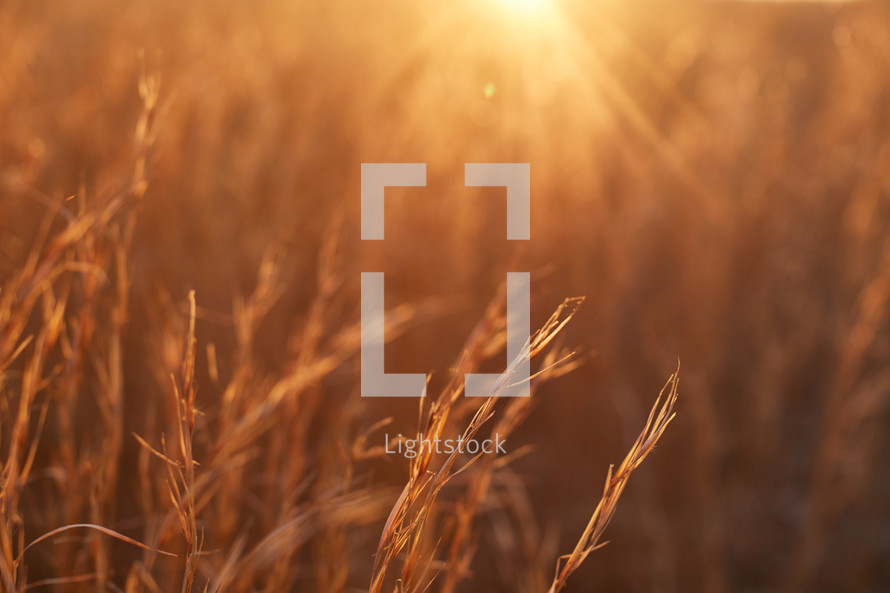 field of tall brown grasses at sunset