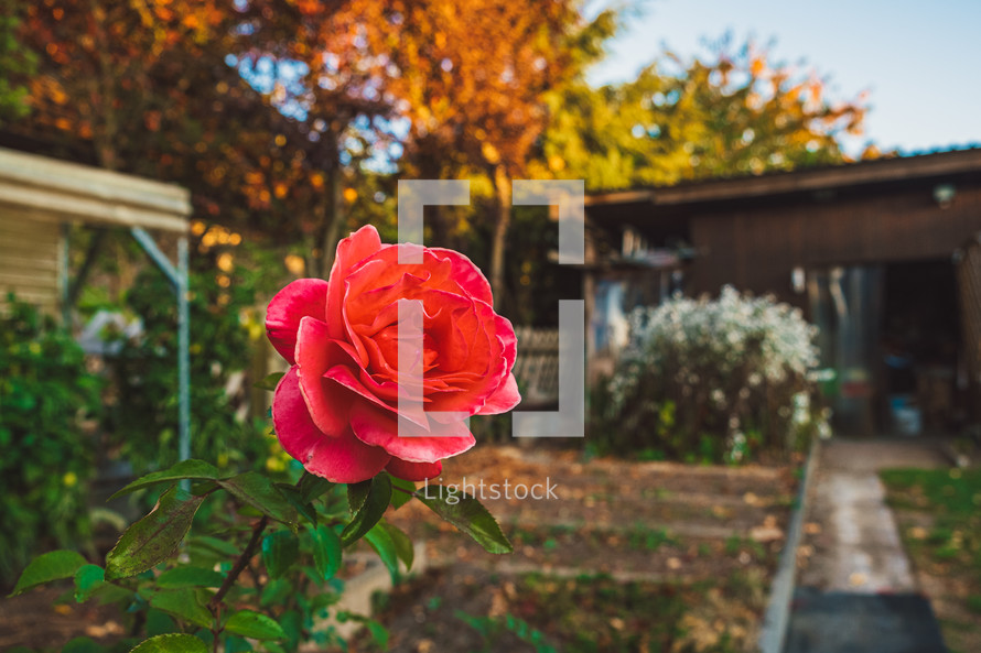 red rose and shed