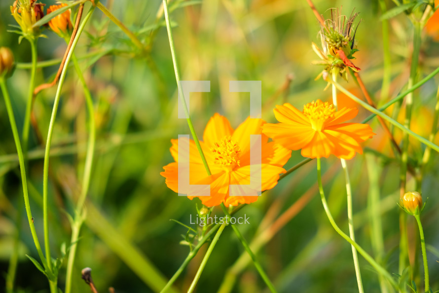 Golden yellow flowers photo by obeyphoto lightstock golden yellow flowers mightylinksfo