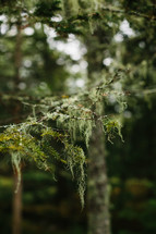 spanish moss on pine branches