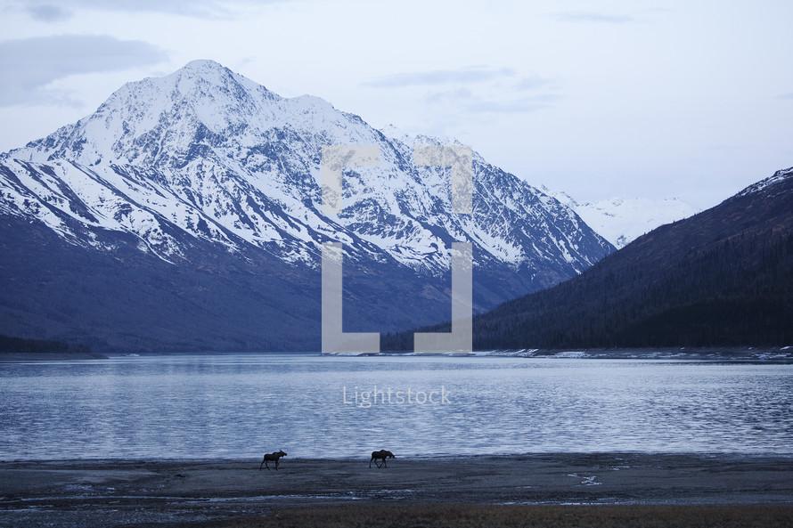 moose along a river shore