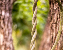 A twisted vine hanging from a tree.