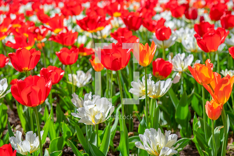 red and white tulips in a flower garden
