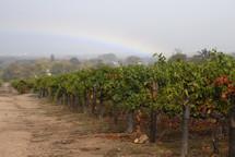 rainbow over a grape vineyard