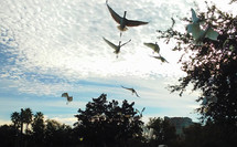 A group of large  white Ibis birds in flight in central Florida on a sunny morning against a group of trees. These birds are often seen around Central Florida in large groups together.
