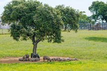 hogs resting under a tree