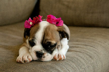 english bulldog puppy with flowers