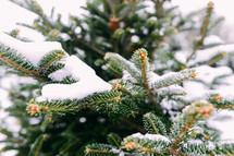 snow on a spruce tree