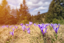 Purple blossoms of crocuses (Colchicum autumnale) on a mountain meadow in the sunshine