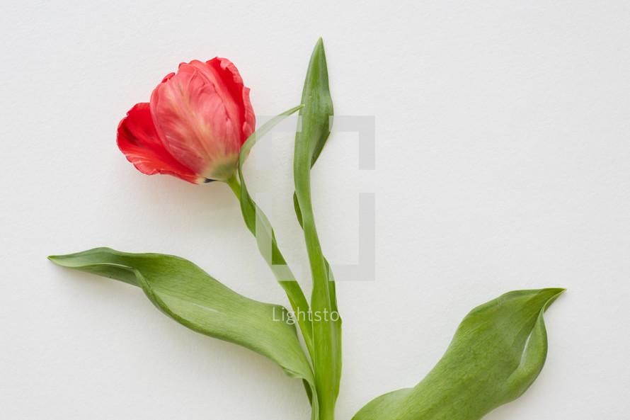 red fancy tulip