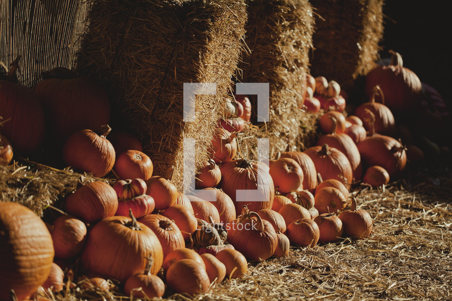 Row of pumpkins with hay bales.